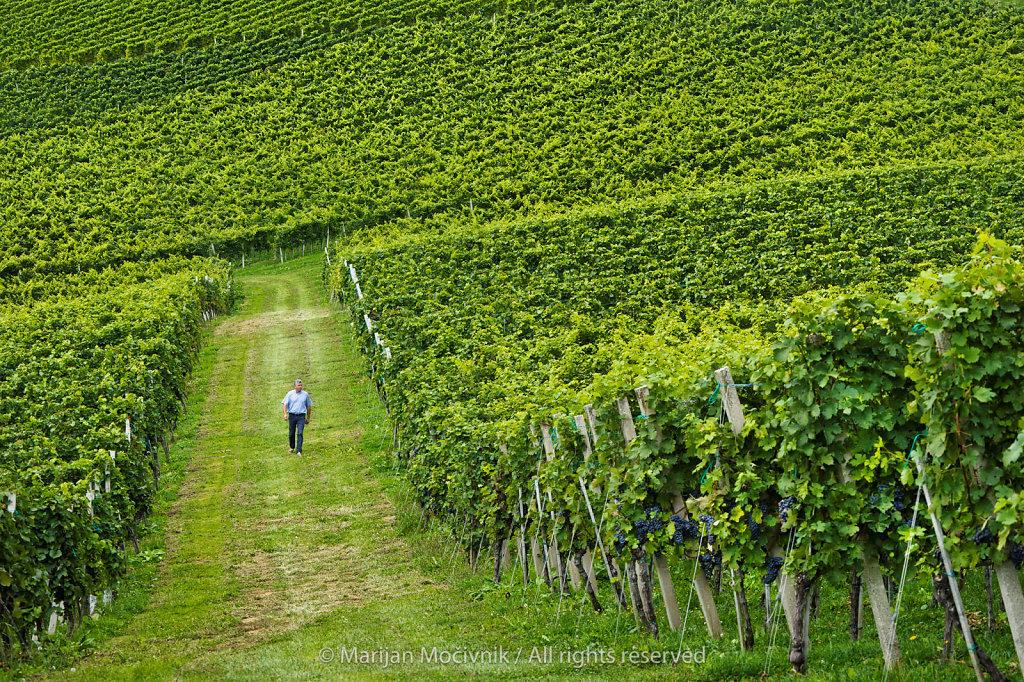 Vineyard, Dolenjska, Slovenia