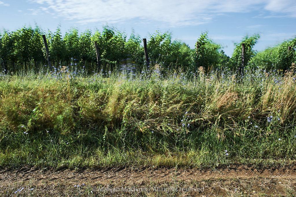 Vinograd-Dobravlje-veter-0404-2048.jpg